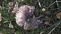 Mushroom in Swedish forest 13.jpg