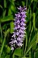 Mussen-Wanderweg Dactylorhiza maculata 16072014 419.jpg