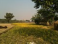 Mustard field, Nepal - panoramio.jpg