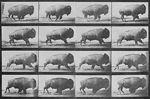 Muybridge Buffalo sequence.jpg