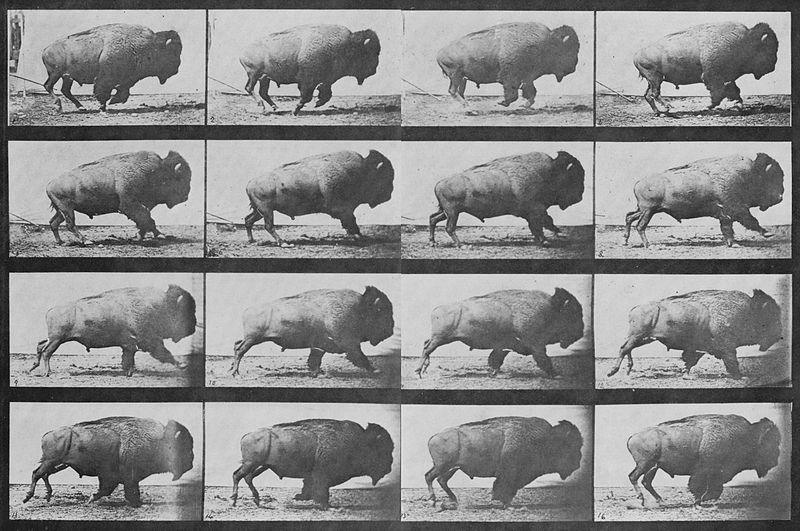 File:Muybridge Buffalo sequence.jpg
