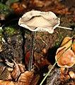 Mycetinis alliaceus - Marpingen - Härtelwald - 20111023-03.jpg
