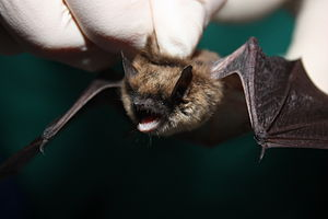 Eastern small-footed myotis - Image: Myotis leibii