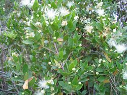 Myrtus communis foliage and flowers