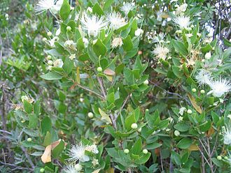 Myrtaceae - Myrtus communis foliage and flowers