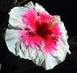 Hibiscus rosa-sinensis - Pod parent