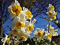 Narcissus on Sagamihara Park IMG 3999.jpg