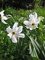 Narcissus poeticus (4697780444).jpg