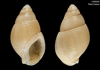 <i>Nassarius turulosus</i>