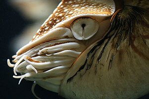 Nautilus - Head of Nautilus pompilius showing the rudimentary eye, which functions similar to a pinhole camera