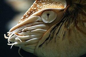 Chambered Nautilus, at Pairi Daiza, Brugelette...