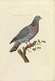 Nederlandsche vogelen (KB) - Columba oenas (406b).jpg