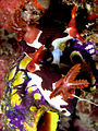 Nembrotha rutilans mating nudibranch.jpg