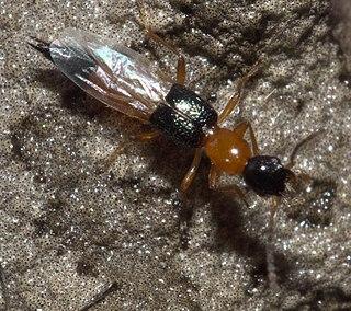 <i>Neobisnius</i> genus of insects