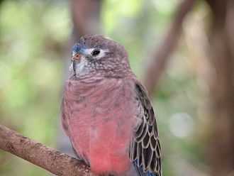 Bourke's parrot - At Flying High Bird Habitat, Queensland. The adult male has blue on its forehead.