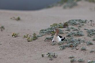 American avocet - Image: Nesting American Avocet