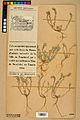 Neuchâtel Herbarium - Alyssum alyssoides - NEU000021922.jpg