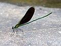 Neurobasis chinensis-stream glory-പീലിത്തുമ്പി (1).jpg