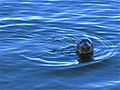 Newburgh, young common seal - geograph.org.uk - 1723590.jpg