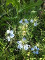 Nigella damascena sl2.jpg