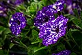 Night Sky Flower (156507499).jpeg