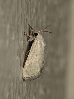 <i>Niphopyralis</i> Genus of moths