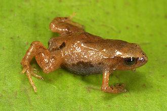 Strabomantidae - Noblella pygmaea