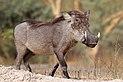 Nolan warthog (Phacochoerus africanus africanus).jpg