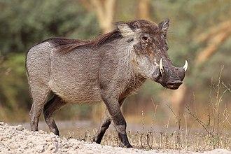 Phacochoerus - Image: Nolan warthog (Phacochoerus africanus africanus)