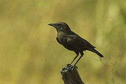Northern Anteater Chat - Kenya S4E5989 (18786233283).jpg