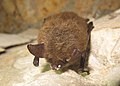 Northern long-eared bat with visible symptoms of WNS (8510785002).jpg