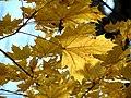Norway Maple (30933485032).jpg