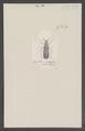 Notostenus - Print - Iconographia Zoologica - Special Collections University of Amsterdam - UBAINV0274 026 05 0004.tif