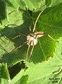 Nursery web spider 1a (FG) (5802460218).jpg