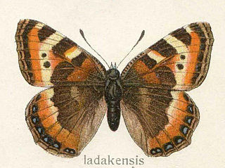<i>Aglais ladakensis</i> species of insect