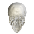 Occipital bone Opisthion13.png