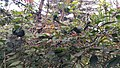 Oecophylla smaragdina nest 03.jpg