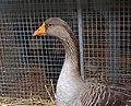 Oie à foie gras du Gers.jpg