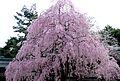Okunitama 2008-3-29 sidare-zakura.jpg
