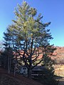 Old Pine Tree, Speedwell, NC (27226600997).jpg