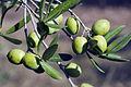 Olives (GROSSANE) CL2. J Weber (2) (23122200206).jpg