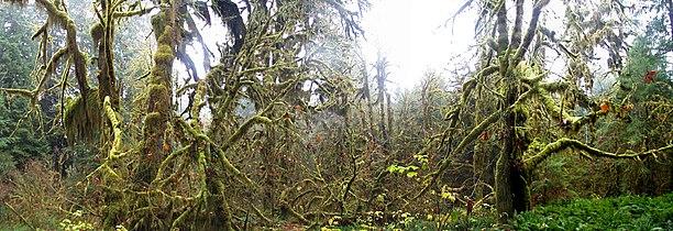 Olym forest2full (rainforest).jpg