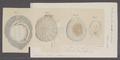 Ombrella indica - - Print - Iconographia Zoologica - Special Collections University of Amsterdam - UBAINV0274 091 11 0002A.tif