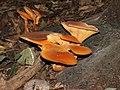Omphalotus olearius.JPG