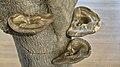 Oorzwam (Ear mushroom) (45952511851).jpg