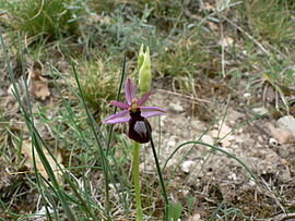 Ophrys Catalaunica.jpg
