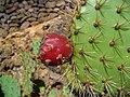 Opuntia littoralis x Opuntia engelmannii 002.JPG