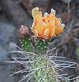 Opuntia polyacantha var. erinacea Mojave pricklypear orange ConvictL.jpg