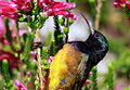 Orange-breasted Sunbird, Anthobaphes violacea (8419588520).jpg