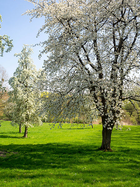 After a long cold Winter at last a magnificent blossoming of the fruit trees.
